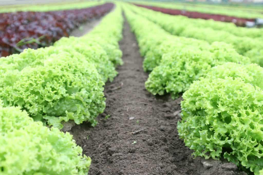 Lettuce produces three times more greenhouse gas emissions than bacon! Just because its green, doesn't mean its environmentally friendly!