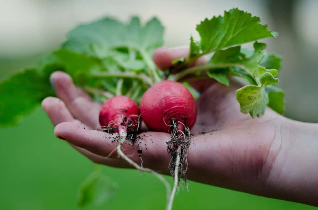 hand holding two radishes. carbs in radishes