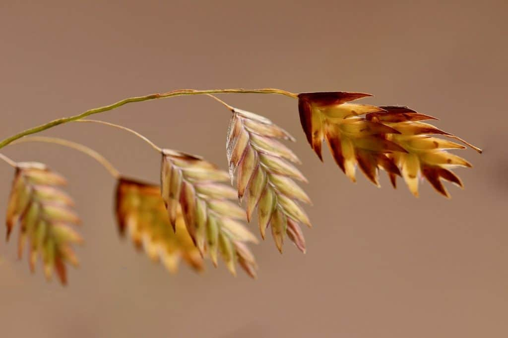 A close up of the kernels on an oat plant.