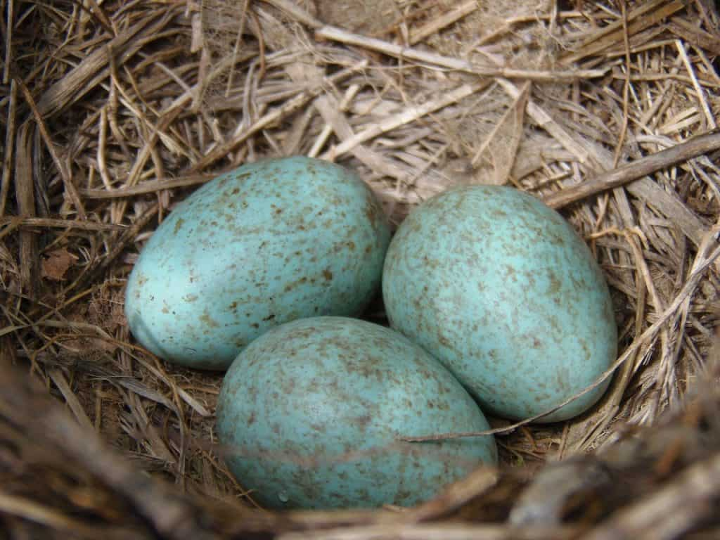 blue eggs in a small nest ready to be harvested